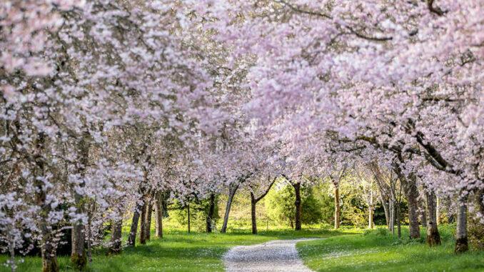 Birr-Castle_Cherry-Avenue-in-full-bloom